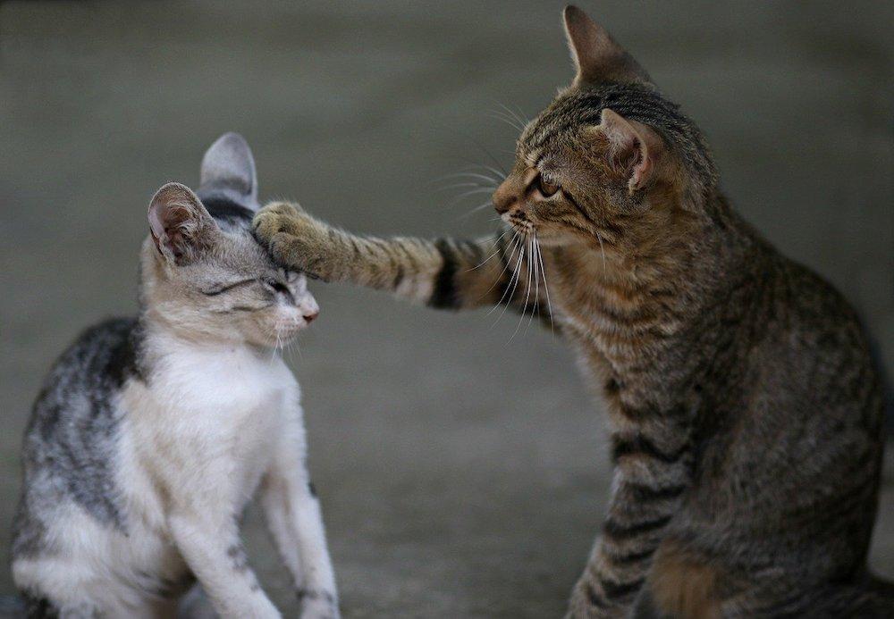 Chat adulte qui tue un chaton